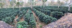 Mayo 2016 - Sector de Piedra Grande, preparando el cafetal para la cosecha 2016-2017. #coffee #cafédecostarica #fincaelpilóndeazúcar