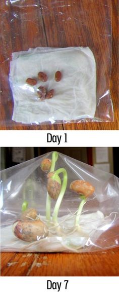 Growing beans in a plastic bag, reminds me of middle school biology class