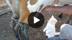 Cat drinks fresh milk straight from cow