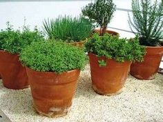 Hortas Caseiras: Plantas que podem ser plantadas juntas