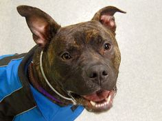 TO BE DESTROYED 1/10/14 Manhattan Ctr VICTOR  A0988456 MALE  BRWN / BRINDLE  PIT BULL  2 yrs STRAY 12/29/13 On leash he's a gentleman; walking calmly, responding to commands and taking care of all his business once outside.  He's like a furry little ray of sunshine. Staff favorite...Fun loving, energetic, playful, friendly with everyone kind of guy. Sits for treats too and he takes them gently.  Victor is more than ready for his chance to shine as the source of unconditional love in your…