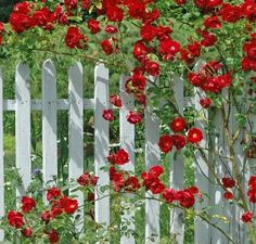 Old Fashioned Red Climbing Roses on White Picket Fence..just like ...