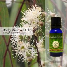 Eucalyptus citriodora helps open breathing passages and is excellent to use when treating asthma, laryngitis, sore throat, colds, and other respiratory illnesses. It is also an excellent oil to use for children, as it's much safer than other Eucalyptus oils.