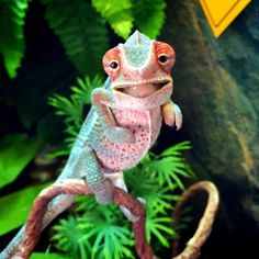 Chameleon Babies That Will Make You Fall In Love With Lizards Just Look At This Happy Baby Chameleon!Just Look At This Happy Baby Chameleon! Les Reptiles, Cute Reptiles, Reptiles And Amphibians, Mammals, Beautiful Creatures, Animals Beautiful, Chameleon Pet, Veiled Chameleon, Animals And Pets