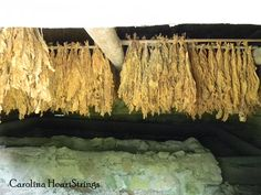 Duke Homestead - Tobacco is tied onto tobacco stick with string.  Stick is placed into barn for curing until tobacco turns the correct shade of gold.