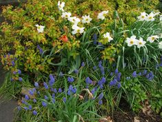 Narcissus, grape hyacinth, orange tulip, spirea. No More Boring Spring Borders | State-by-State Gardening Web Articles