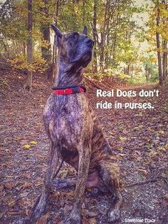 Funny Great Dane Dog Memes of All Time Great Dane Funny, Great Dane Rescue, Great Dane Dogs, Funny Dogs, Brindle Great Dane, Blue Merle Great Dane, Merle Great Danes, Dane Puppies, Real Dog