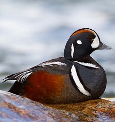 The beautiful Harlequin Duck, photographed in Yellowstone NP, Wyoming by   Dubi Shapiro.  From Where to Watch Birds and Other Wildlife in the World