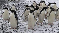 Adelie Penguins - Antarctica 2016