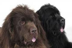 Afbeeldingsresultaat voor newfoundland dog signs