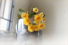 https://flic.kr/p/MMz2Qs | Orquídea Dendrobium chrysotoxum Lindl - Mimosa -  Amarela no Pet | Orquídea Dendrobium de um belo amarelo com matizes laranja, dando um colorido encantador. -  Está sendo iluminada por uma janela ensolarada pela manhã. Plantada dentro de uma vasilha pet, com algumas pedras no fundo, e pedaços de madeira velha. Dendrobium orchid of a beautiful yellow with orange hues, giving a charming coloring. 'It's being lit by a sunny window in the morning.' Planted inside a…