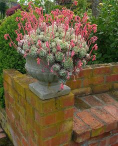 Gorgeous Echeveria elegans in urn! Growing Succulents, Succulents In Containers, Cacti And Succulents, Planting Succulents, Cactus Plants, Planting Flowers, Blooming Succulents, Succulent Gardening, Succulent Pots