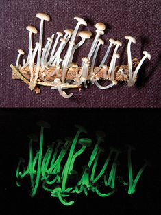 glow in the dark fungi found in the Brazilian rain forest- Mycena luxaeterna (THIS is exactly why we need to stop cutting and digging up and destroying all this world has to offer!!)