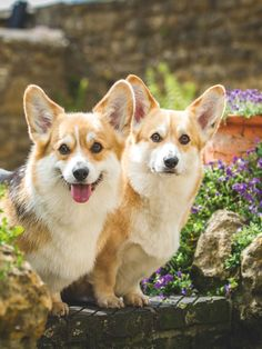 Corgis, beloveds of HM Q.E.II