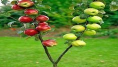 Hangi Ağaç hangi ağaca aşılanır | Bitki Alemi | Tarımdan