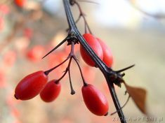 Owoce berberysu Herbs, Vegetables, Fruit, Health, Garden, Food, Magick, Diet, Garten