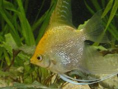 There are many varieties of angelfish, as well as a large variety of colors. Description from fish-tank-guide.com. I searched for this on bing.com/images