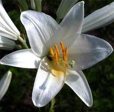 asiatische lilie wei shrubs i stauden pinterest. Black Bedroom Furniture Sets. Home Design Ideas