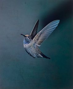 Eliot Porter, American, 1901–1990. Blue-Throated Hummingbird, Chiricahua Mountains, Arizona. May 1959. Dye transfer print. 9 5/16 x 7 3/4″ (23.7 x 19.6 cm). Number 6 from an edition of 20. Gift of David H. McAlpin © 1990 Amon Carter Museum of American Art.