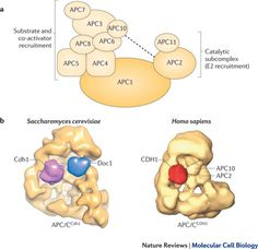 Cubism and the cell cycle: the many faces of the APC/C Cell Cycle, Dna Replication, Cell Biology, Mitosis, The Cell, Apc, Science, Free