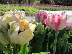 Tulip Field | Botanica Gardens