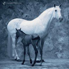 "Mare and Foal breed in ""Yeguada de la Cartuja"" 5 centuries of 100% pure Carthusian lineage in them. Yeagua y potrillo de la Yeguada de la Cartuja, en ellos hay cinco siglos de linaje Cartujano 100% #andaluz #andalusian #horses"