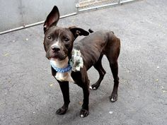 TO BE DESTROYED - 05/31/14 -Manhattan Center - P  LAILA    A1000326. I am a female brown/white pit mix. STRAY 5/19/14   ***BABY ALERT!!!  1 YEAR  A volunteer writes: Gentle, friendly, a little shy and easy going best describe Layla. Walks beautifully without pulling and eliminates on the way. Meets other dogs in a very civil way.A wonderful cuddle bug who settles close to me. Dreaming of true love, a caring master or family and a safe forever home.