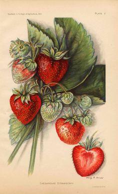 1912 Chesapeake Strawberry