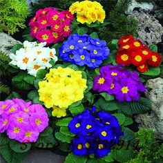 .Primula seed (100 seeds) flower seeds for Home Garden Bonsai outdoor plants