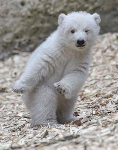 會跳舞的小白熊?德國動物園的小北極熊對鏡頭眨眼萌翻全場 | 北極熊、小白熊、跳舞、眨眼、萌 | 生活發現 | 妞新聞 niusnews