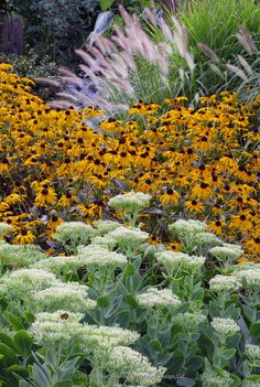 The soft seed heads of Sedum Brilliant and Pennisetum Hameln grass, paired with the bright yellow flowers of Rudbeckia Goldstrum  provide interesting color and texture contrasts in late summer. Austin Ganim Landscape Design, LLC