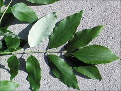 White ash tree leaves