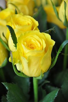 Long Stem Yellow Roses :)