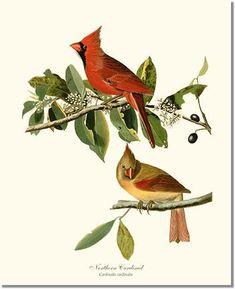 Cardinal, Northern | Charting Nature - Vintage Botanical, Fish and Wild Bird Art Prints