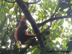 Two Families Reunite | Going Back to the Forest Update on orangutans released into Batikap forest from BOS Nyaru Menteng. Please support orangutan releases here and help more orangutans return to freedom in the forests where they belong: https://secure.thebiggive.org.uk/projects/view/18744/bring-an-orangutan-home-in-2013