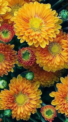 how to look after chrysanthemums