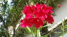 Oleander Plants, Summer Recipes, Florals, Plant, Planting, Planets