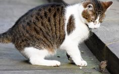 It's well known among feline fanatics that Larry the cat is not the best mouser out there.    Number 10 insiders have said in the past that he has been happy to snooze as mice scurry past his nose.    It has now been confirmed that Larry lacks the bloodthirsty instincts of his more savage colleagues.