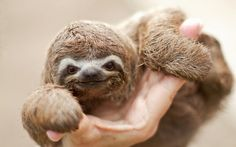 This baby sloth has the cheekiest expression. Just so cute! Could we keep one in the Great American Days office?