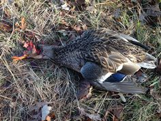 Forgot to change out the full choke... 5 yards or less! Eeck!
