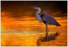 "500px / Photo ""Heron Sundown"""