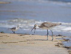 Willet eating 166 85x11 tc, #willet, #shorebird