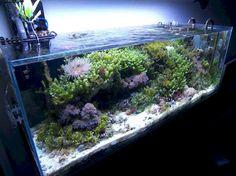 Macroalgae Marine Tank, tanks like this are becoming more and more common, but are relatively unknown to most aquarists. Aquarium Terrarium, Live Aquarium Plants, Nano Aquarium, Nature Aquarium, Aquarium Design, Marine Aquarium, Reef Aquarium, Planted Aquarium, Saltwater Tank