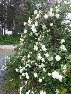 Midsummer rose--#juhannusruusu #rose