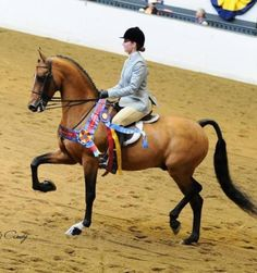Graycliff Go Navy - Morgan horse - my favorite horse I have ever owned