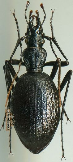 Cychropsis nepalensis Ancestry Records, Beetles, Curiosity, Moth, Bugs, Spider, Butterfly, June Bug, Insects