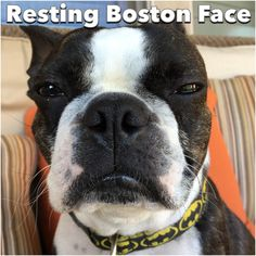 RBF = Resting Boston Face We've all seen this look on our dogs, but the flat faced Boston Terrier is an expert!