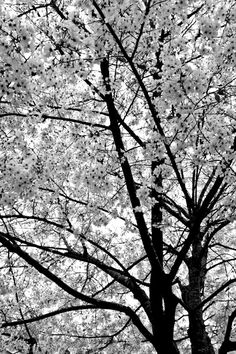 Photography Art: Dogwood in Bloom