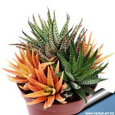 Haworthia attenuata variegate