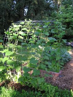 Cucumber Trellis (pics) - Vegetable Gardening Forum - GardenWeb  This wide trellis discourages the worms, makes finding and picking easier and adds a lovely shade spot below for time out in the garden!